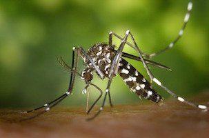 Moustique tigré